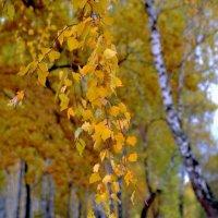 Берёзовое золото.. :: Юрий Анипов