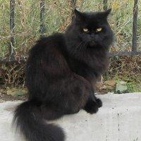 Кот черный, суровый... :: Александр Скамо