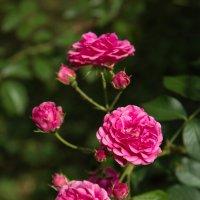 Розовая память о лете. :: Андрей Нибылица
