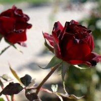 Последние розы :: Александр Грищенко