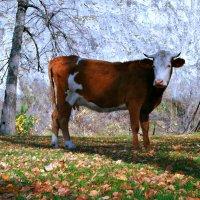 Осенний день, простой пейзаж, обычная корова... :: Евгений Юрков