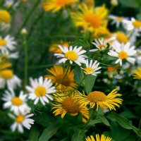 Летние цветы :: Борис Коктышев