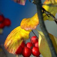 Осенние ягоды :: Anna S.