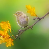 Осенние птицы. Пеночка теньковка. :: Влад