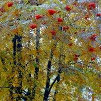 Рябиновые бусы раз в году... :: Тамара (st.tamara)