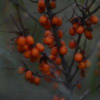 Осенняя облепиха :: Pavel Lomakin