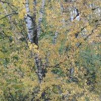 Осенняя береза :: Томчик Подольская