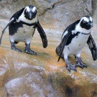 Пингвинчики. :: Hаталья Беклова
