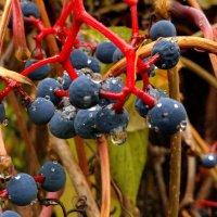 дикий виноград на заборе двора :: Александр Прокудин