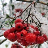 Рябина под снегом . :: Мила Бовкун