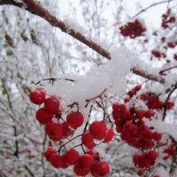 Рябина под снегом №2 . :: Мила Бовкун