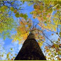 Осины в осень :: Андрей Заломленков