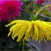Тяжёлые капли дождя..... :: Юрий Владимирович