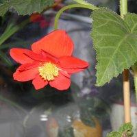 аленький цветочек :: Ксения