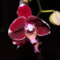 Орхидея . :: Наталья Щёголева
