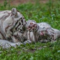 Тигровые забавы :: Владимир Габов