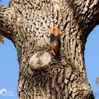 Весёлая белка/ Funny squirrel :: Олег Подсевальников