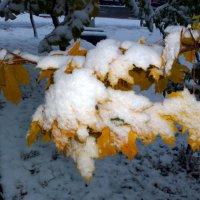 Листья клена в снегу :: Асылбек Айманов