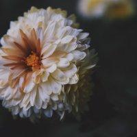 Осіння квітка :: Анна Сухомлин