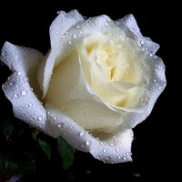 Жемчужная роза :: Светлана