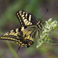 Бабочка :: Александр Пчельников