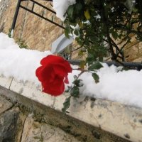 роза на снегу... :: Anna Sokolovsky