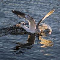 Чайка на воде :: Aнна Зарубина