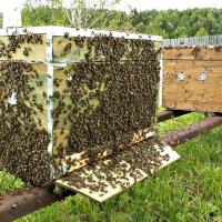 Роение пчёл.... :: Любовь