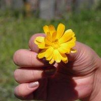 желтая ромашка :: Ксения