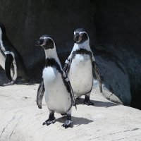 Любопытные пингвины :: lady-viola2014 -