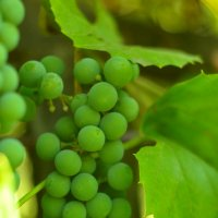 Виноград.. :: Юлiя :))