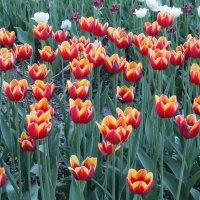 Красные тюльпаны огнем горят :: Дмитрий Никитин