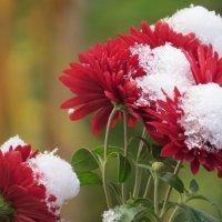 первый снег укрыл цветы :: валя