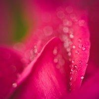 роза :: Dasha Darsi