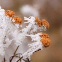 Белые ромашки,в белом ноябре... :: Наталья Юсова (Natali50)