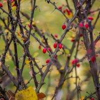 Волчьи ягодки... :: Таня Харитонова