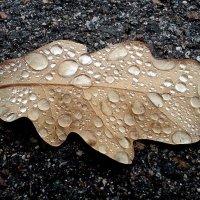 Дубовый лист с капельками воды :: Асылбек Айманов