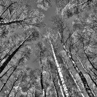 Чёрно-белые берёзы :: Сергей Зыков