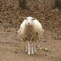 Овца :: Сергей Титаренко