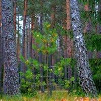 Украшения из желтых листьев на сосне :: Милешкин Владимир Алексеевич