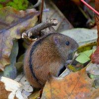 Мышка-норушка :: Ната Волга