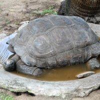 черепаха :: Елена Савчук