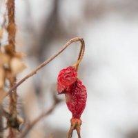шиповник зимний. :: lev