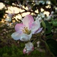 Про весну. Один раз в год сады цветут... :) :: Андрей