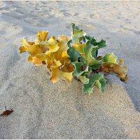 Растения песчаных дюн. :: Валерия Комова