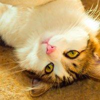 У меня очень добрый кот, всегда разрешает мне уснуть на краю кровати. :: Наталья Александрова