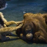 """Граждане, как вы полагаете, я сделаю из этой """"обезьяны"""" человека? :: Владимир Максимов"""