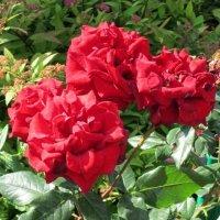 Эти красные розы :: Дмитрий Никитин