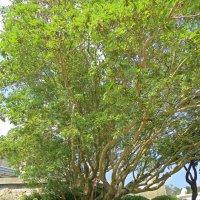 Ветвистое дерево :: Вера Щукина