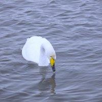 Лебедь на алтайской зимовке :: Ирина Богатырёва